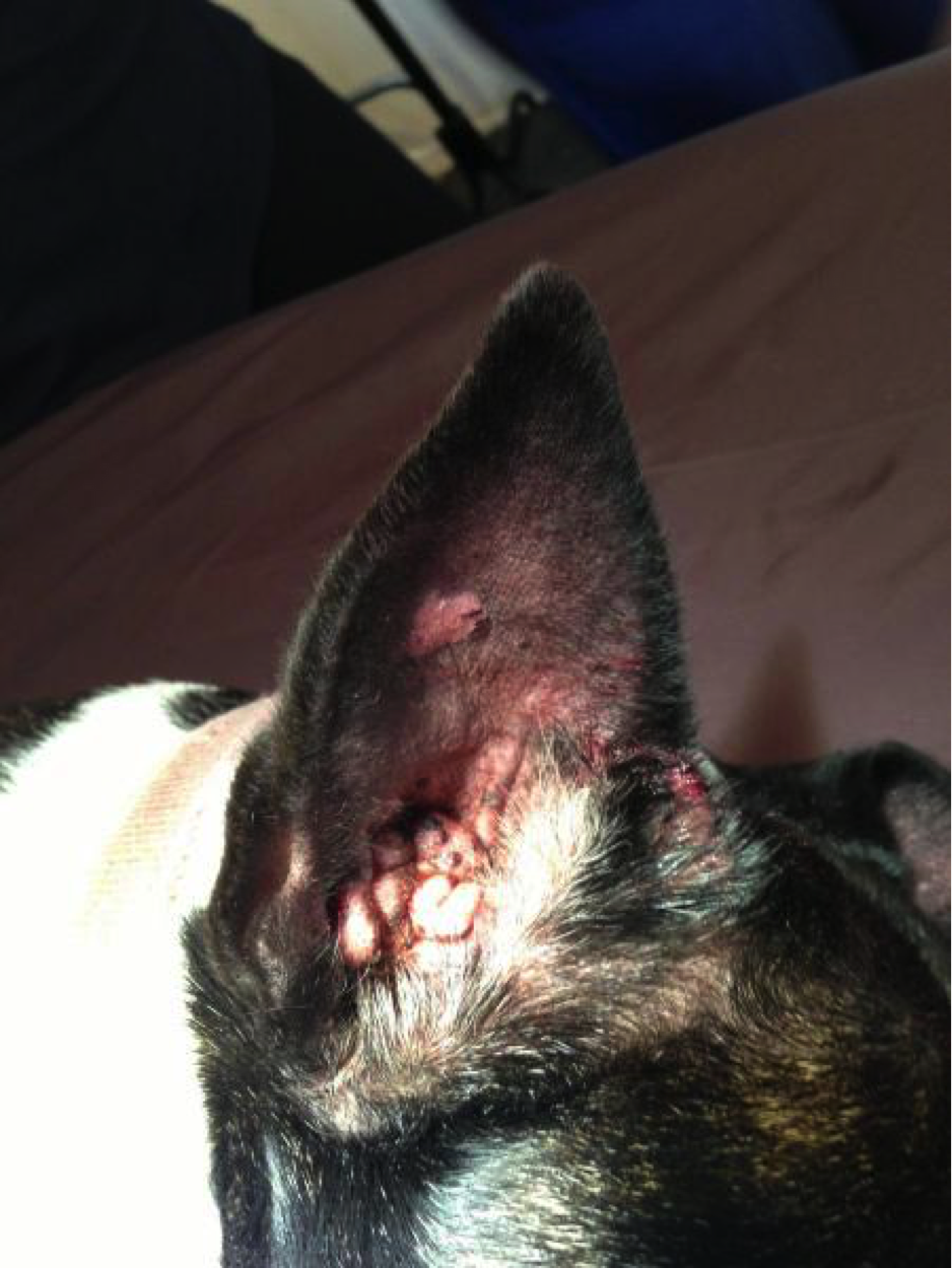 Dogs Ulcerated Ear